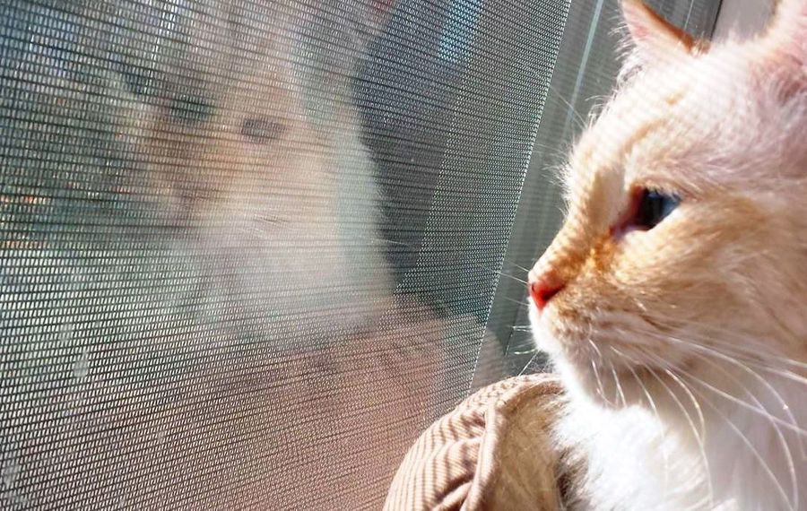 Cats Of EyeEm Reflections In The Glass Windows Ragdoll Cat Blue Eyed Cat Catitude Close-up Domestic Cat No People Pets Purr-sonality Ragdoll Cat Striking A Pose Whisker