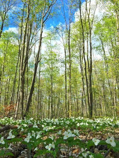 Trilliums up in here. Nature EyeEm Nature Lover Outdoors Forest Taking Photos