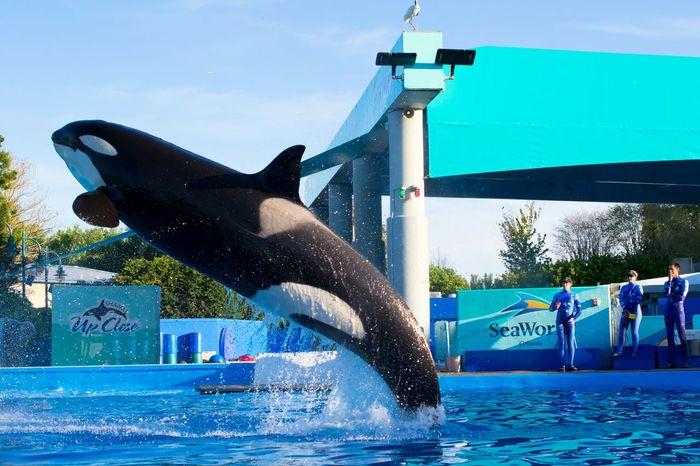 Traning Jamp USA Sea World Orlando Killer Whale BIG Beautiful Water Animal