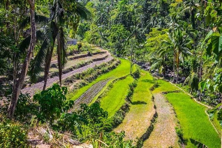 Green rice fields in Tibiao
