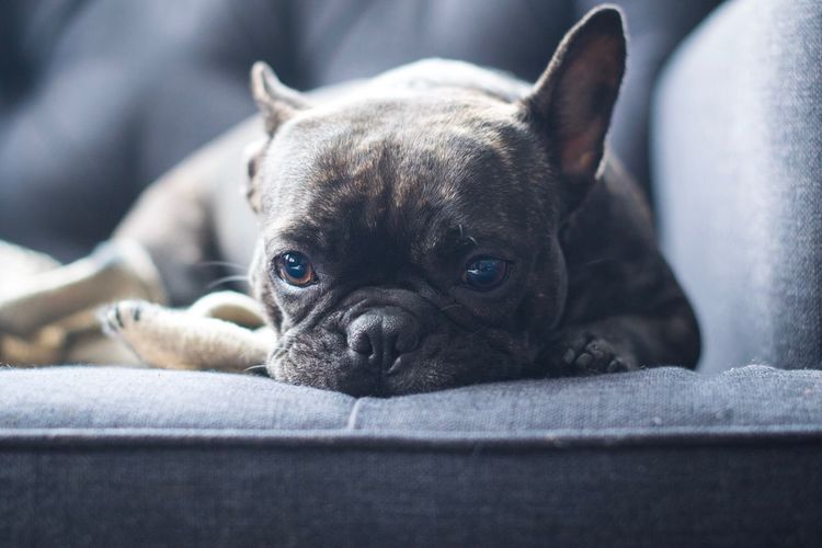 Feeling blue Looking At Camera Pets One Animal Domestic Animals Animal Themes Portrait Mammal Dog Close-up Indoors  No People Day Pet Photography  Dogs Of EyeEm Cute Pets Pets Corner Frenchbulldog Frenchie