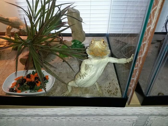Reptile Bearded Dragon Pogona Hanging Out How You Doin' Dave And Wendi's Galvanized Aluminum Shed
