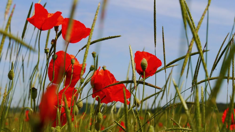 Fresh red poppies on a field of cereals Red Nature Growth No People Close-up Plant Beauty In Nature Poppy Blue Sky Eyem Gallery EyeEm Gallery Landscapes Red And Blue Freshness Summer In Bloom Buds Bud And Open Flower