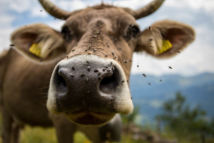 Close-Up Portrait Of Cow Outdoors