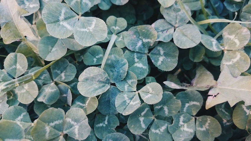 Full Frame Pattern Backgrounds Close-up Day Textured  No People Outdoors Nature Beauty In Nature Clover