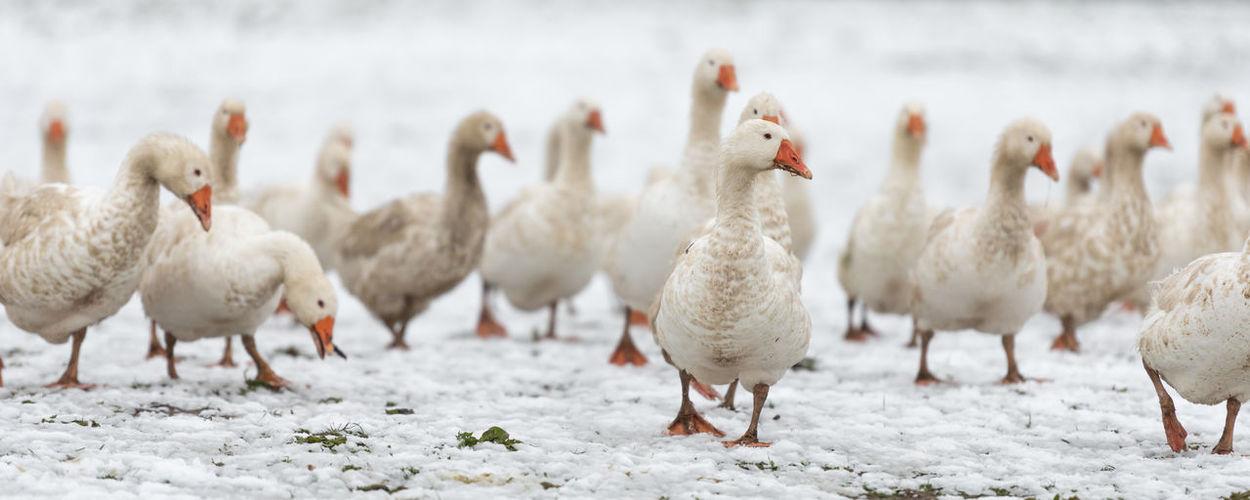 Flock of ducks on snow in farm