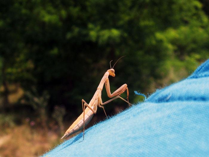 Close-up of praying mantis on shoulder