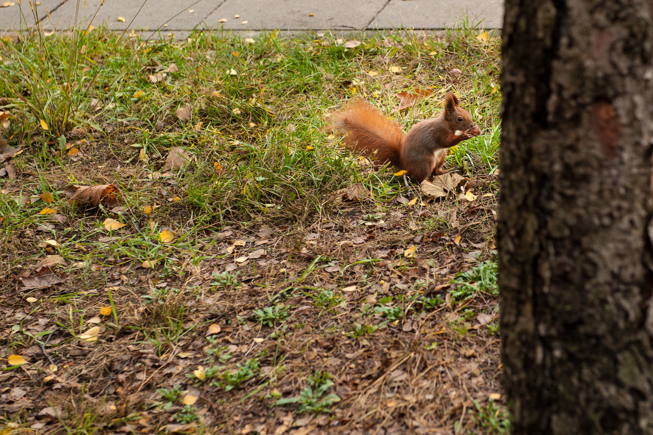 one animal, animal themes, mammal, animals in the wild, squirrel, no people, nature, outdoors, day, tree trunk, animal wildlife, domestic animals, pets, tree, grass