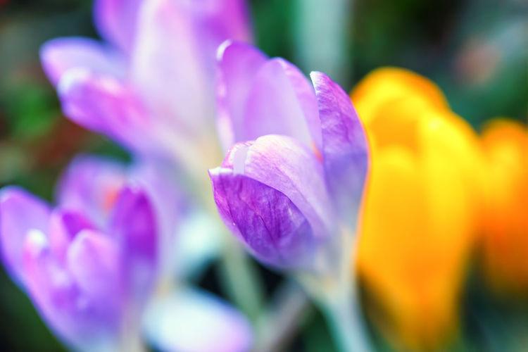Crocus Flowers Macro