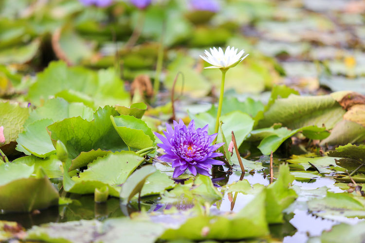 Flowering Plant Flower Freshness Plant Beauty In Nature Vulnerability  Fragility Selective Focus Leaf Plant Part Growth Close-up Green Color Petal Nature Flower Head Inflorescence Pond Water Lily Purple No People Floating On Water Lotus Water Lily