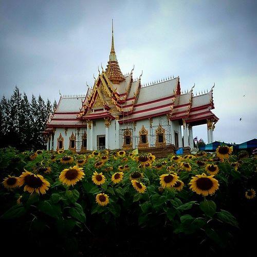 วัด กับ ดอกทานตะวัน Sun Flower
