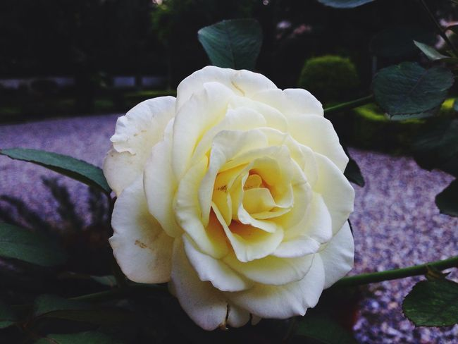 Beauty is in d eye of the beholder.....sometimes though, a good snap helps Monsoon roses EyeEm Nature Lover flowers