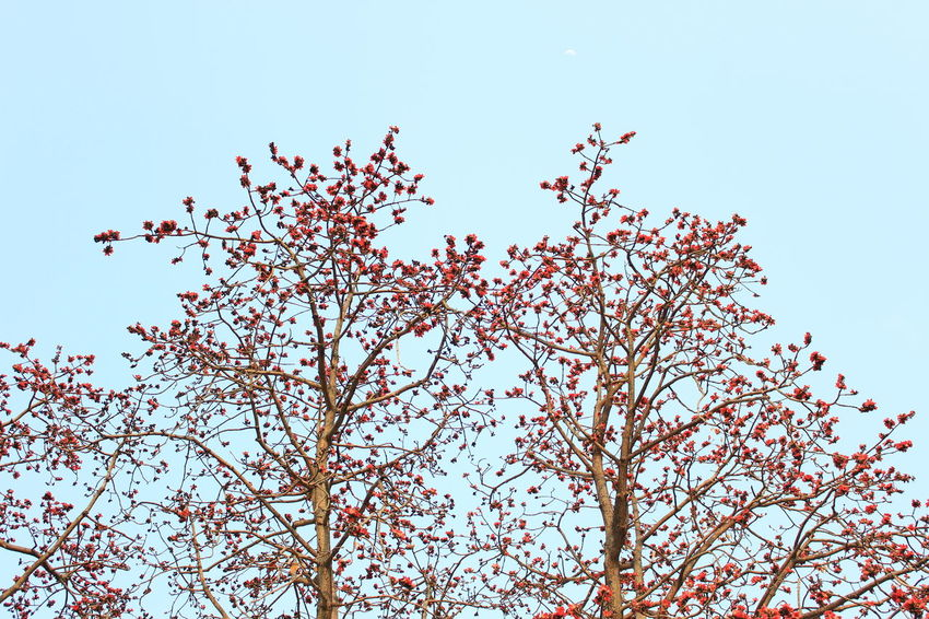 Beauty In Nature Blue Sky Blue Skys Branch Clear Sky Close-up Cotton Tree Day Fragility Freshness Growth Hong Kong Low Angle View Nature Nature No People Outdoors Plum Blossom Red Flowers Sky Spring Springtime Tree Trees 木棉花