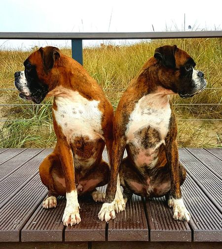 Animal Themes Pets Dog Outdoors Boxerlove I Love My Dog Boxer Dogs EyeEm Gallery I Love My Boxer EyeEm Best Shots Power Of Nature Friendship EyeEm Nature Lover Apollo Und Baxter Me And My Brother