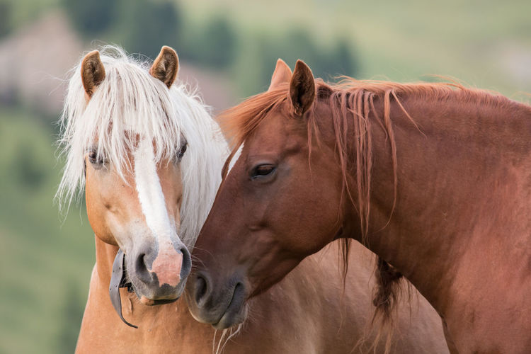 Horses couple portrait, South Tyrol, Italy Avelignese Horse Chestnut Couple Haflinger Horses Love Trento Trento, Italy Alps Animal Portrait Avelignese Brown Close-up Cute Domestic Animals Haflinger Horse Herbivorous Horse Italy Livestock Mammal Mane Nature Portrait Together