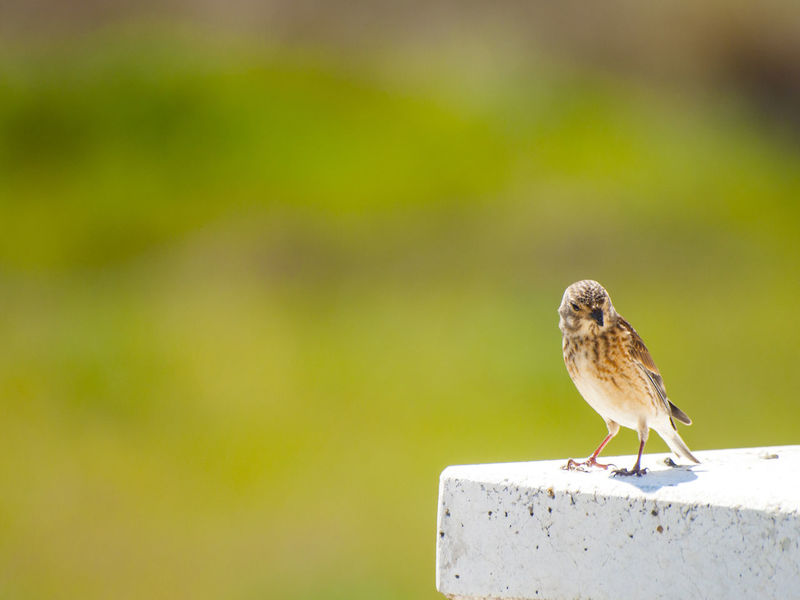 Adapted To The City Animal Themes Animal Wildlife Animals In The Wild Bird Birds Carduelis Cannabina Close Up Close-up Common Linnet Day Environment Focus On Foreground Linaria Cannabina Linnet Nature No People One Animal Outdoors Perching Perching Bird Sparrow Urban Birds Wildlife
