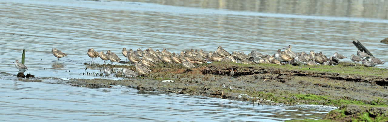 Long-billed Dowitchers @ Haywards Landing 1 Limnodro Scolopaceus Seabird Sandpiper Family Wader Fresh Water Shallow Water Mudflats Tidal Flats Migrant BirdBreeds In Far Northwest Winters From Pacific To Southeast Coasts Diet: Aquatic Invertebrates ,insects, Mollusks,crustaceans, Seed Grasses Birds Birdwatching Birds_collection Bird Photography