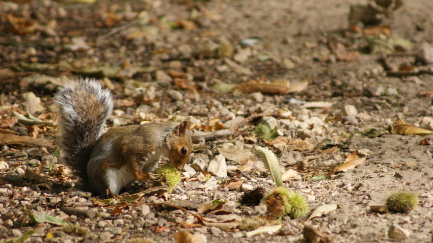 Squirrel Animal Animal Themes Animal Wildlife Animals In The Wild Day Eating Field Full Length High Angle View Land Leaf Mammal Mouse Nature No People One Animal Outdoors Plant Part Rodent Vertebrate