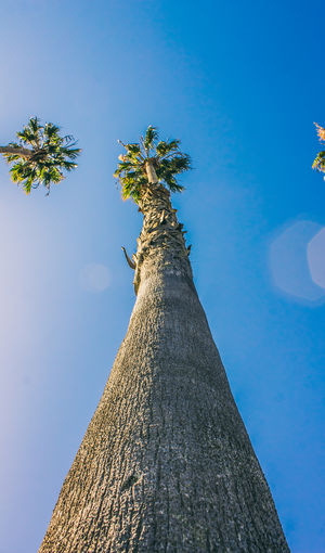 Ants View of Palm Tree Animal Animal Wildlife Animals In The Wild Bark Blue Clear Sky Day Growth Low Angle View Nature No People One Animal Outdoors Palm Tree Plant Sky Tall - High Tree Tree Trunk Trunk