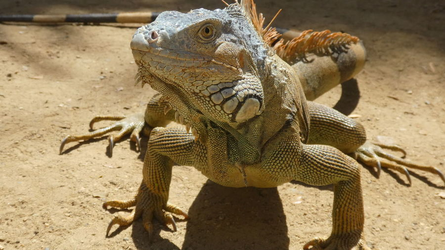 male iguana standing in front of me Low Angle View In Front Of Me Imposing Iguana Impressive Nature Attack Attack Position Claws Beard Orange Color Wildlife Wildlife & Nature Sand Animal Themes Close-up Iguana