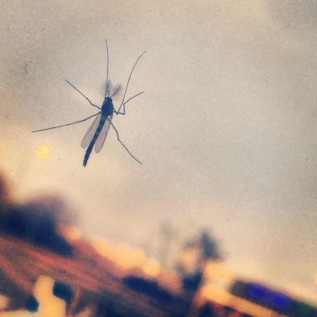 moustique sur le pare brise... avant sa mort Moustique Mosquito
