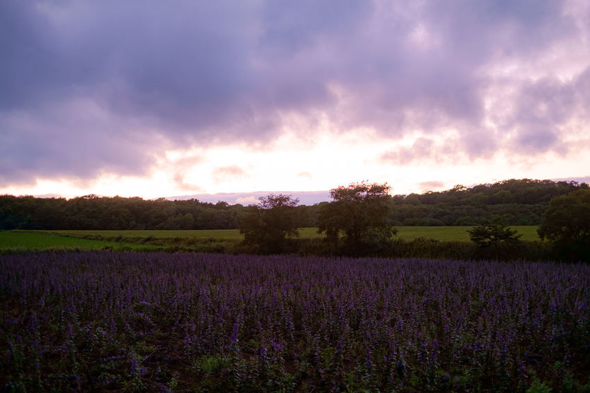 Hokkaido. Hokkaido Japan Agriculture Beauty In Nature Cloud - Sky Day Field Flower Fujifilm Fujifilm_xseries Growth Landscape Lavender Lavender Colored Nature No People Outdoors Plant Purple Rural Scene Scenics Sky Sunset Tranquil Scene Tranquility