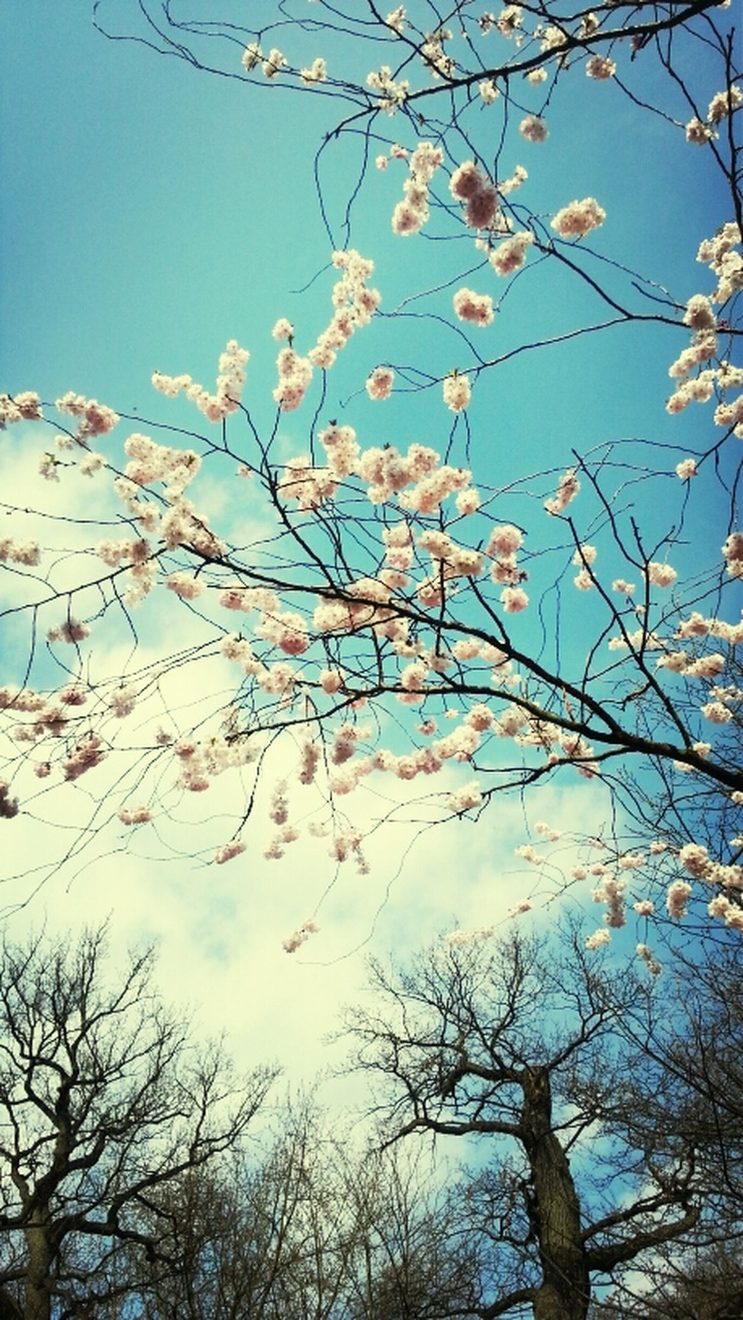 low angle view, branch, tree, flower, clear sky, growth, blue, beauty in nature, nature, cherry blossom, sky, freshness, blossom, cherry tree, fragility, blooming, day, twig, springtime, outdoors