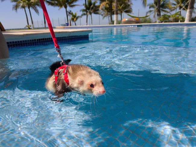 ferret love Ferret Ferret Outdoor Ferrets  Pool Poolside Dog One Animal