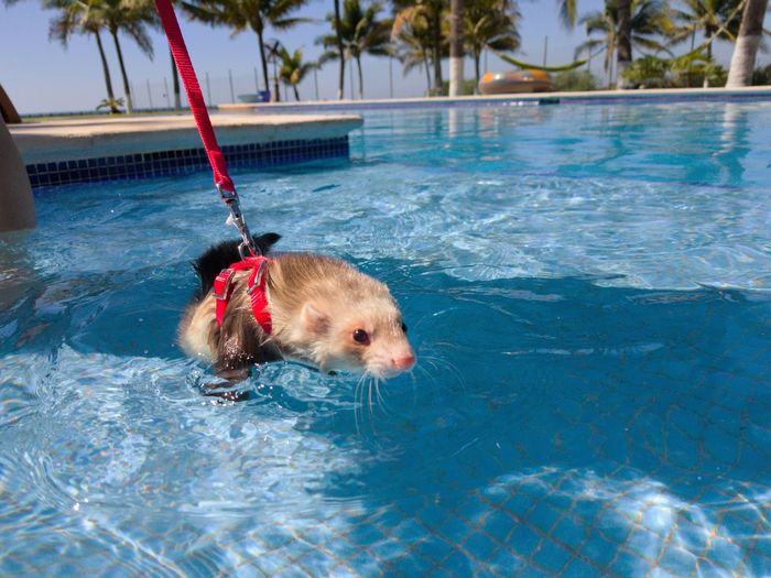 ferret love Ferret Ferret Outdoor Ferrets  Pool Poolside Dog One Animal