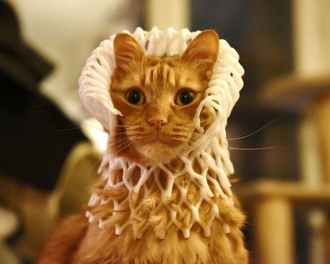 Louis cat. Cat