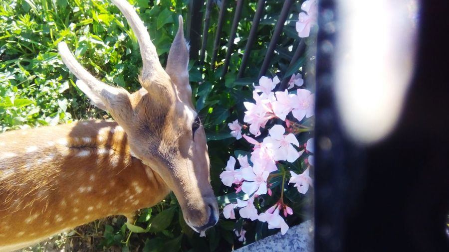 Fawn among the flowers Fawn Fawn Lying In The Grass Fawn😍 Animal Themes Animal Photography Animals In Captivity Flower Tree Close-up Plant Life Blooming