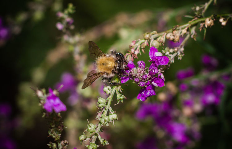 Animal Themes Animal Wildlife Animals In The Wild Beauty In Nature Bee Blooming Bumblebee Close-up Day Flower Flower Head Focus On Foreground Fragility Freshness Growth Insect Nature No People One Animal Outdoors Petal Plant Pollination Purple Symbiotic Relationship