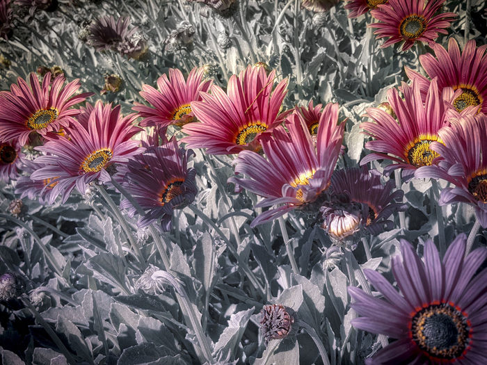 Day Ethereal Beauty Flower Gazania Flowers Outdoors Purple Flower Rose Colored Flow UnEasy