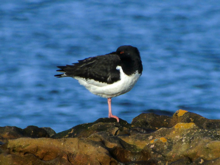 Sleepy Oyster Catcher Balance Beauty In Nature Bird Bird Photography Birds Birds Of EyeEm  Birds_collection Blue Blue Water Close-up Day Eye Em Scotland Focus On Foreground Nature No People Outdoors Perching Rock Rock - Object Scenics Scotland Sky Tranquil Scene Tranquility Uk