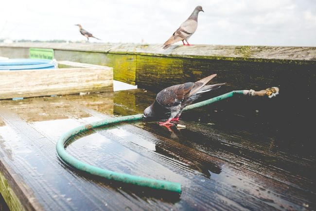 Fresh Water Drinking Pigeons Birds Nature Civilization Layers And Textures Composition Perspective Photography