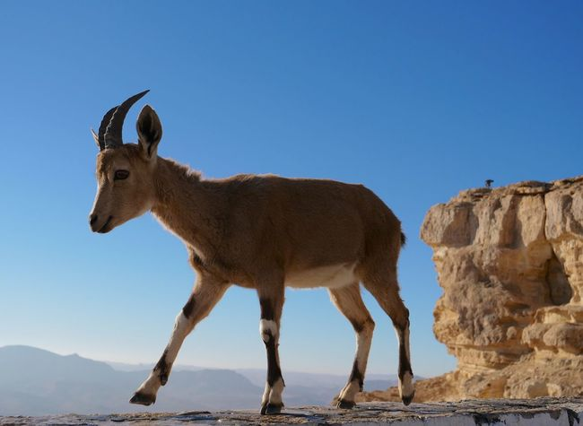 A curious friend from Mitzpe Ramon, Israel Mitzpe Ramon Israel Viewpoint Ibex Navamaagal Leica Lens Lumixgh5 Animal Themes Mammal Clear Sky One Animal Animals In The Wild Day Animal Wildlife Standing Blue Outdoors No People Sky Full Length