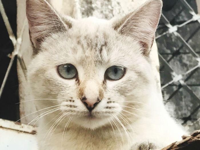 Smelly cat. Feline Pets Domestic Cat Portrait Looking At Camera Cat Pet Portraits