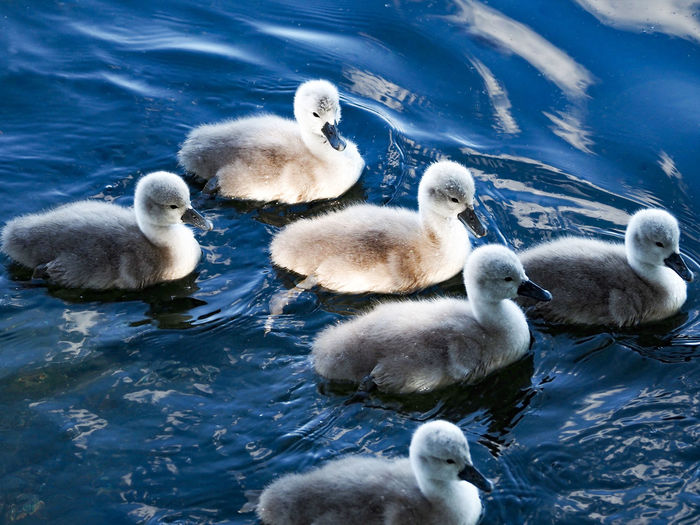 Swans and ducks in lake