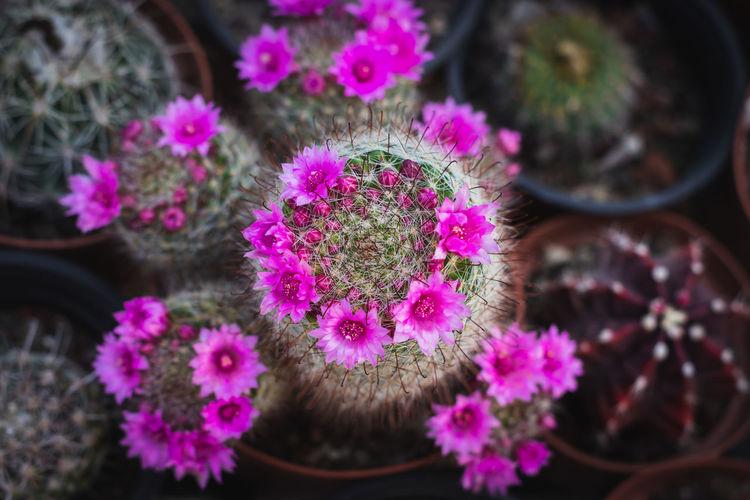 Close-up of pink cactus flower pot