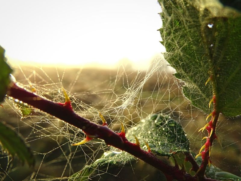 Natures Architecture is amazing Caught In A Web Dew Drops On Leaf Spiderweb In Morning Dew Deadly Thorns And Beauty Fresh Beautiful Morning Eyeem Photography EyeEm Getty Collection Eyeem Market EyeEm Gallery