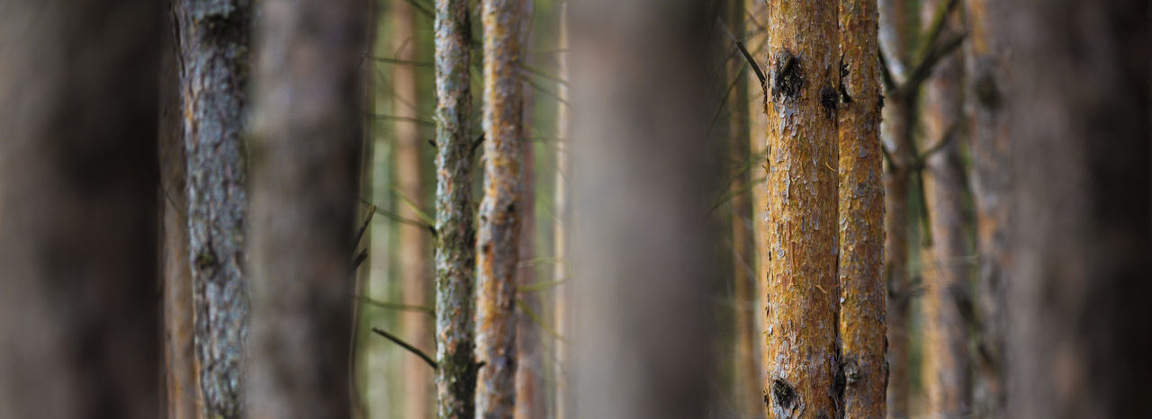 Abstract Background Bokeh Depth Of Field Forest Group Group Of Trees Natural Pattern Natural Patterns No People Pine Pine Trees Plant Selective Focus Simplicity Tree Twig Wood Woods