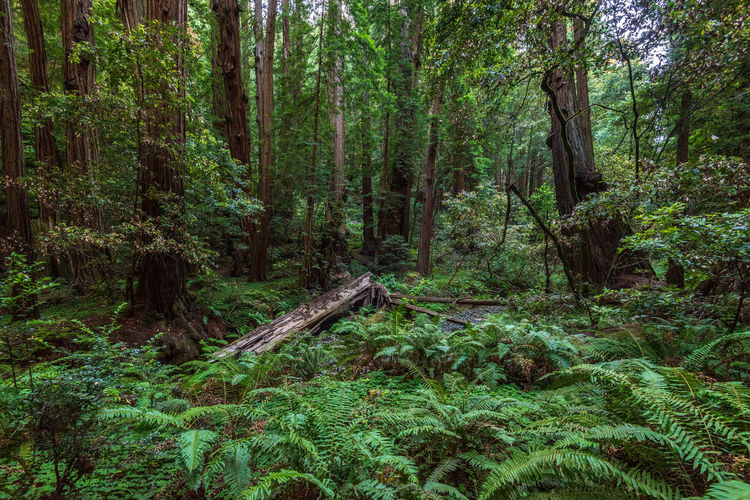 Tree Forest Plant Land Growth Green Color WoodLand Tranquility Trunk Tree Trunk Beauty In Nature Nature Day Lush Foliage Scenics - Nature Non-urban Scene Foliage Tranquil Scene Outdoors Environment No People Rainforest Redwoods