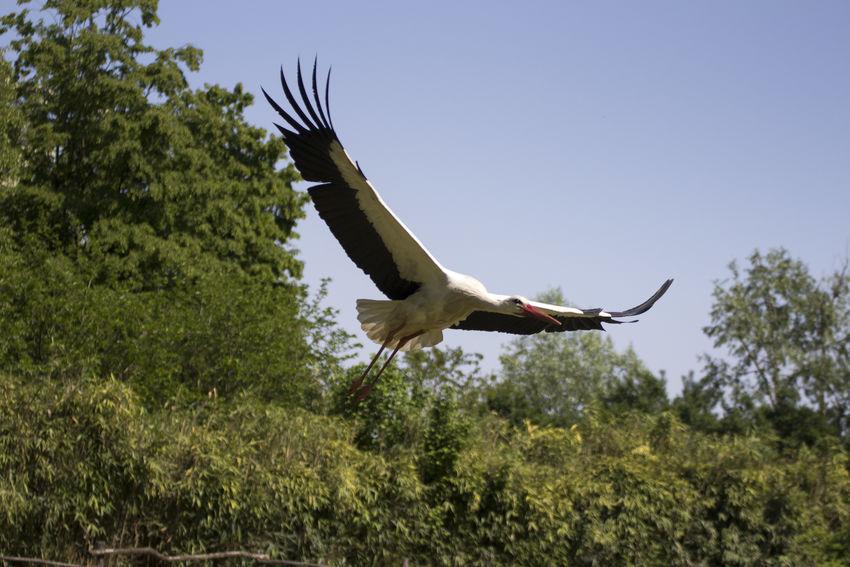 White stork White Stork Bird Birds Cicogna Ciconia Ciconia Ciconia Nest White