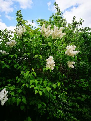 Nature Tree Growth Plant Sky Outdoors Cloud - Sky No People Green Color Day Flower Leaf Freshness Beauty In Nature Close-up Lilac White Lilac Springtime Blue Sky