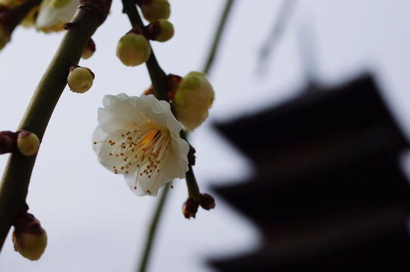 Close-up of plum blossoms against sky