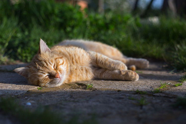 Ginger cat sleeping on footpath
