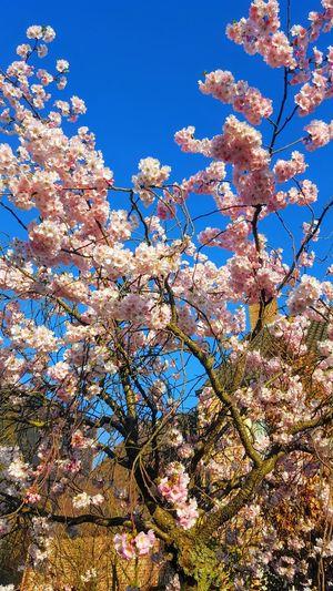cherry flowers Flower Head Tree Flower Clear Sky Branch Springtime Blue Blossom Sky Close-up Cherry Blossom Cherry Tree Plant Life Botany Blooming