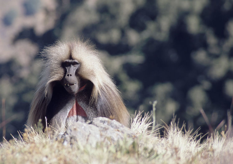 Close-up of baboon on grass