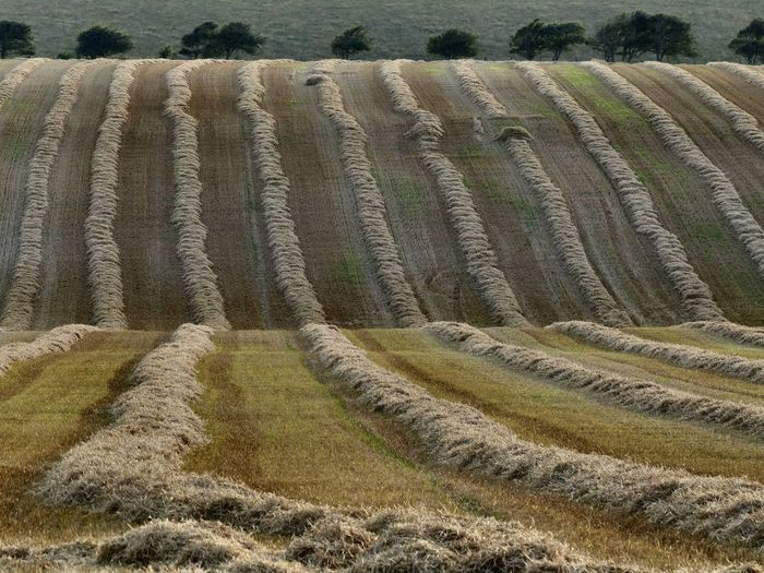 As the harvest continues, straw lines stretch out across the hills - August 2016. East Sussex Hangleton Harvest Harvest Time Hay Hove South Downs Wheat Wheat Field