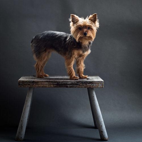 Portrait of yorkshire terrier on table against black background